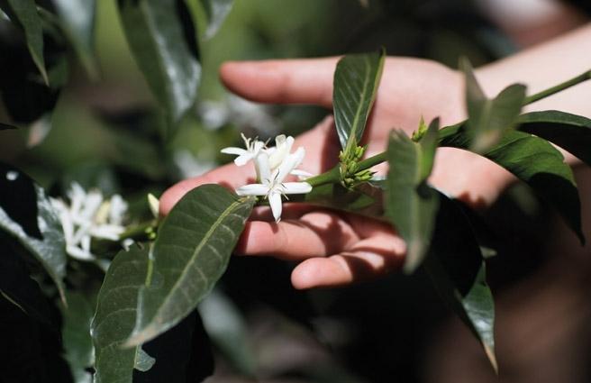 De la plantation de café à la tasse